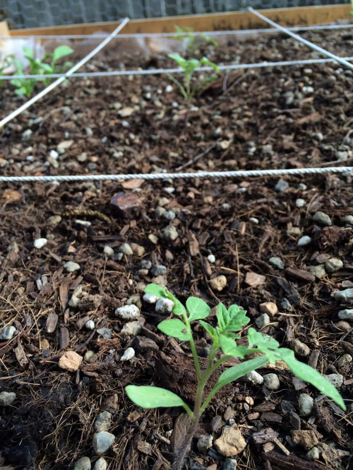 Tomato Seedlings in Wicking Bed