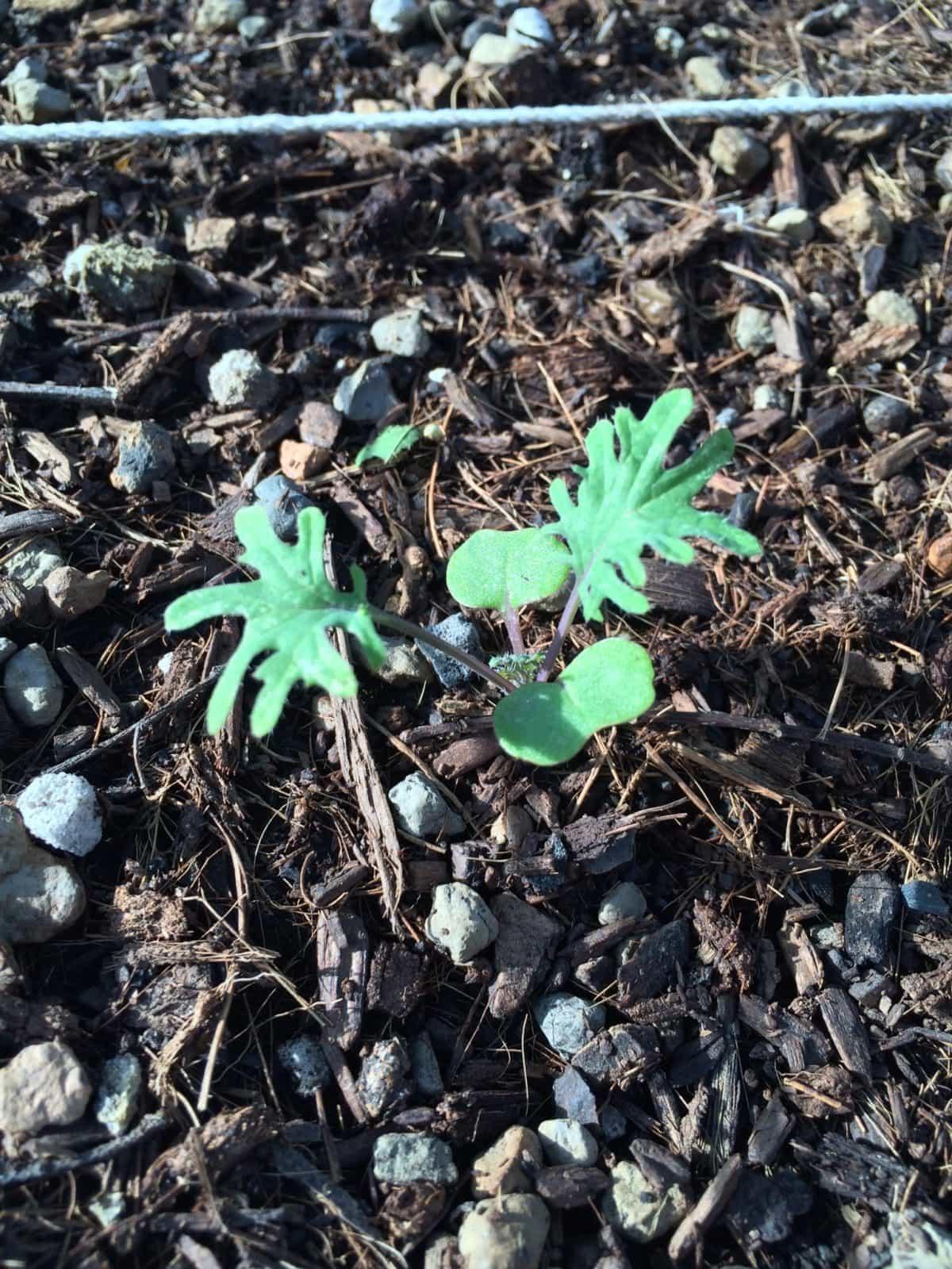 Kale Seedlings in Wicking Bed