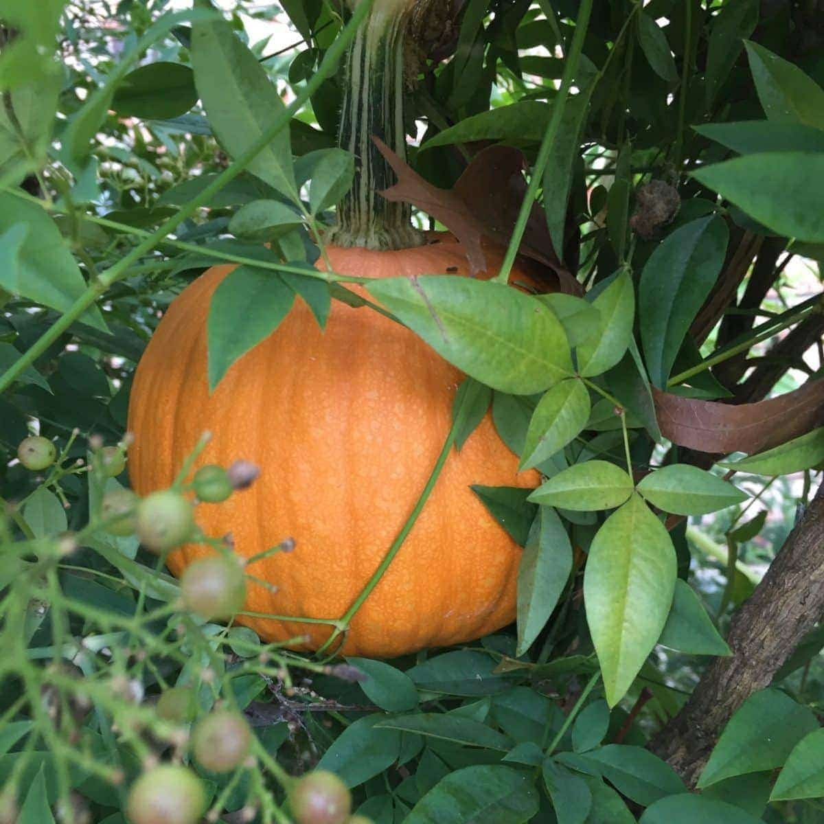 Pumpkin Hiding in Bushes