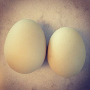 Two Eggs of Different Sizes from Backyard Chickens