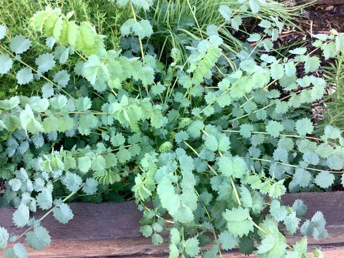 Salad Burnet in Raised Garden Bed