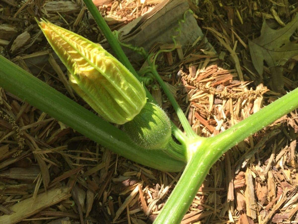 Pumpkin Forming on Stem Surrounded by Mulch