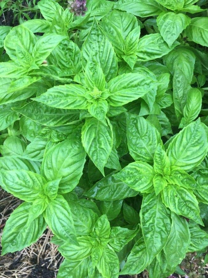 Basil Leaves on Plant in the Garden