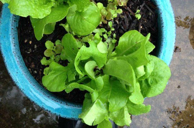 Rain on Romaine Lettuce in Blue Pot