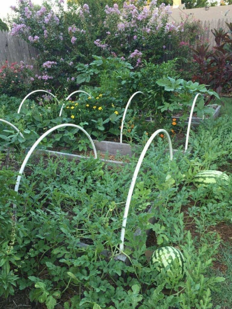 Mini-Hoop Houses in Garden