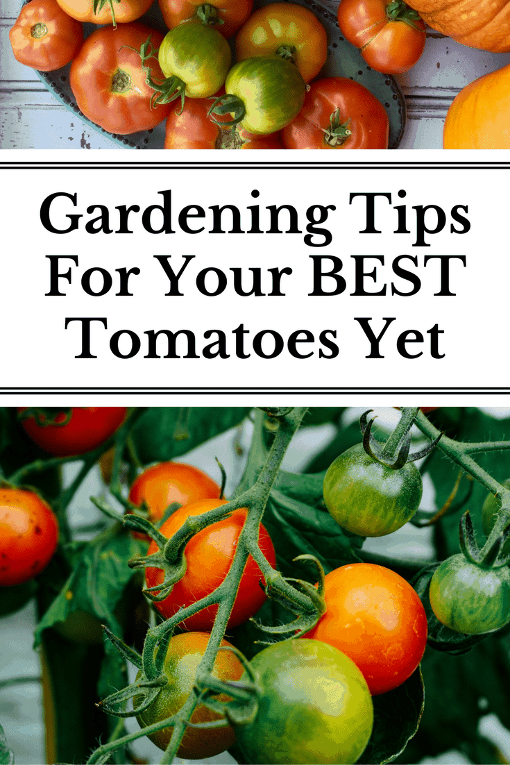 The best ten tips for growing tomatoes whether you are a gardening newbie or seasoned grower!