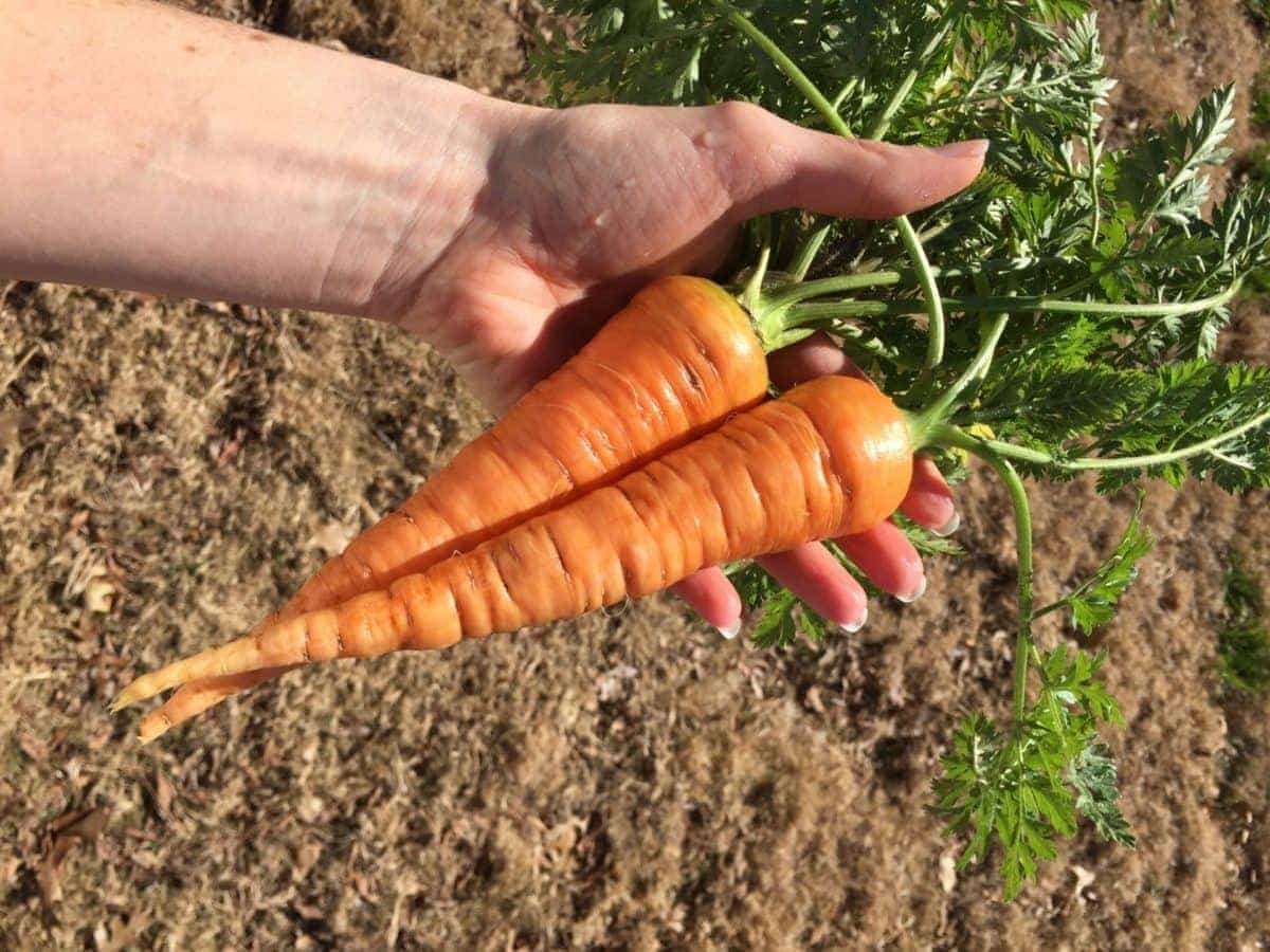 Two Large Carrots Harvested from Garden