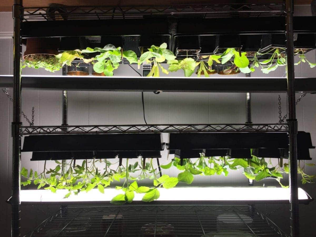 Planting Growing Indoors Under Grow Lights