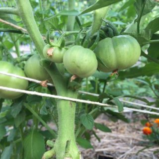 My Top Eight Tomato Tips