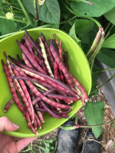 Purple Hull Pinkeye Cowpeas