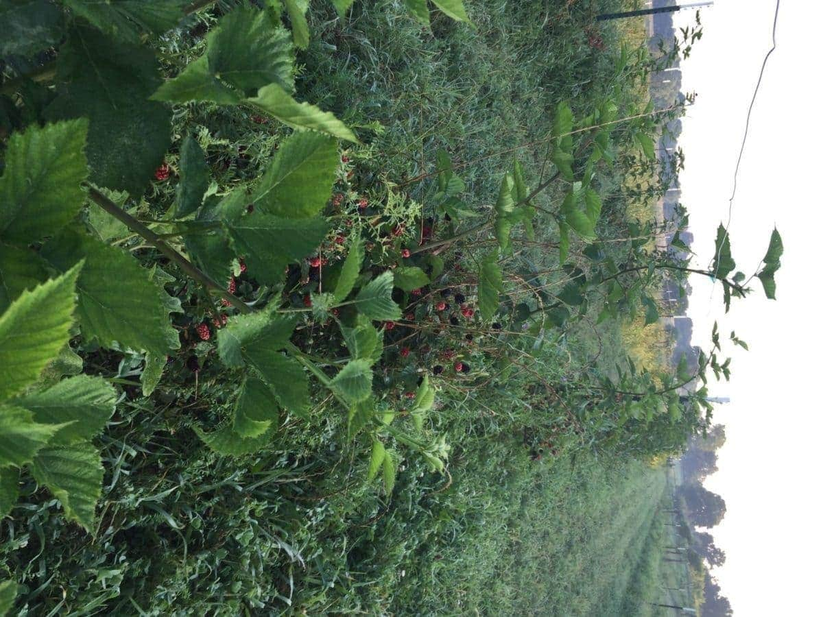 Blackberries in the field at Pure Land Organic Farm