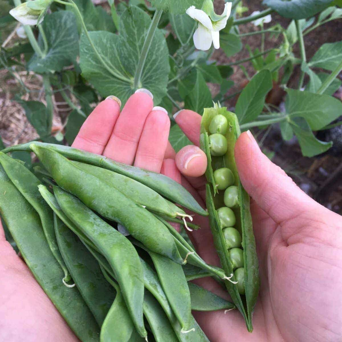 Garden Peas Just Harvested