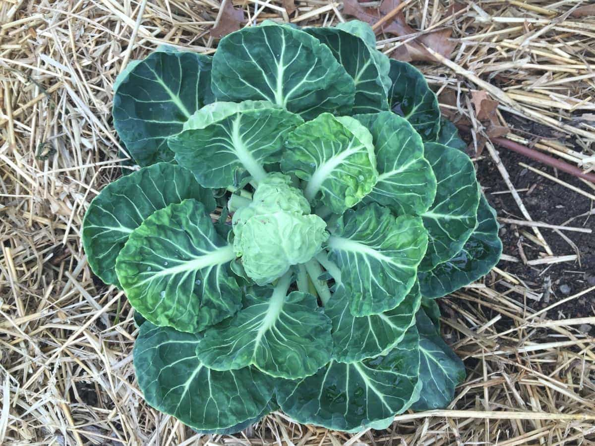 Brussel Sprouts in the Garden