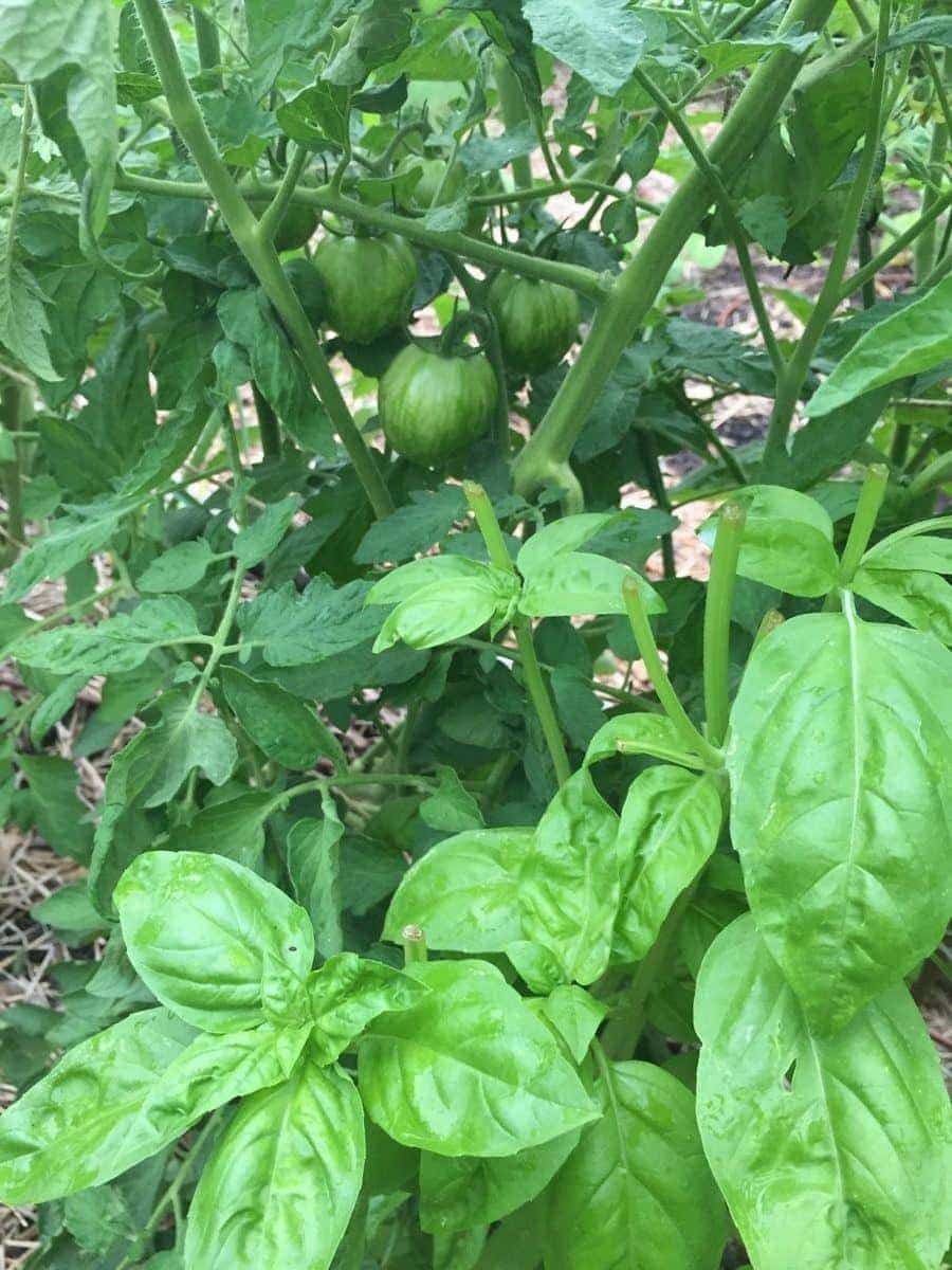 Basil and Tomatoes in Garden