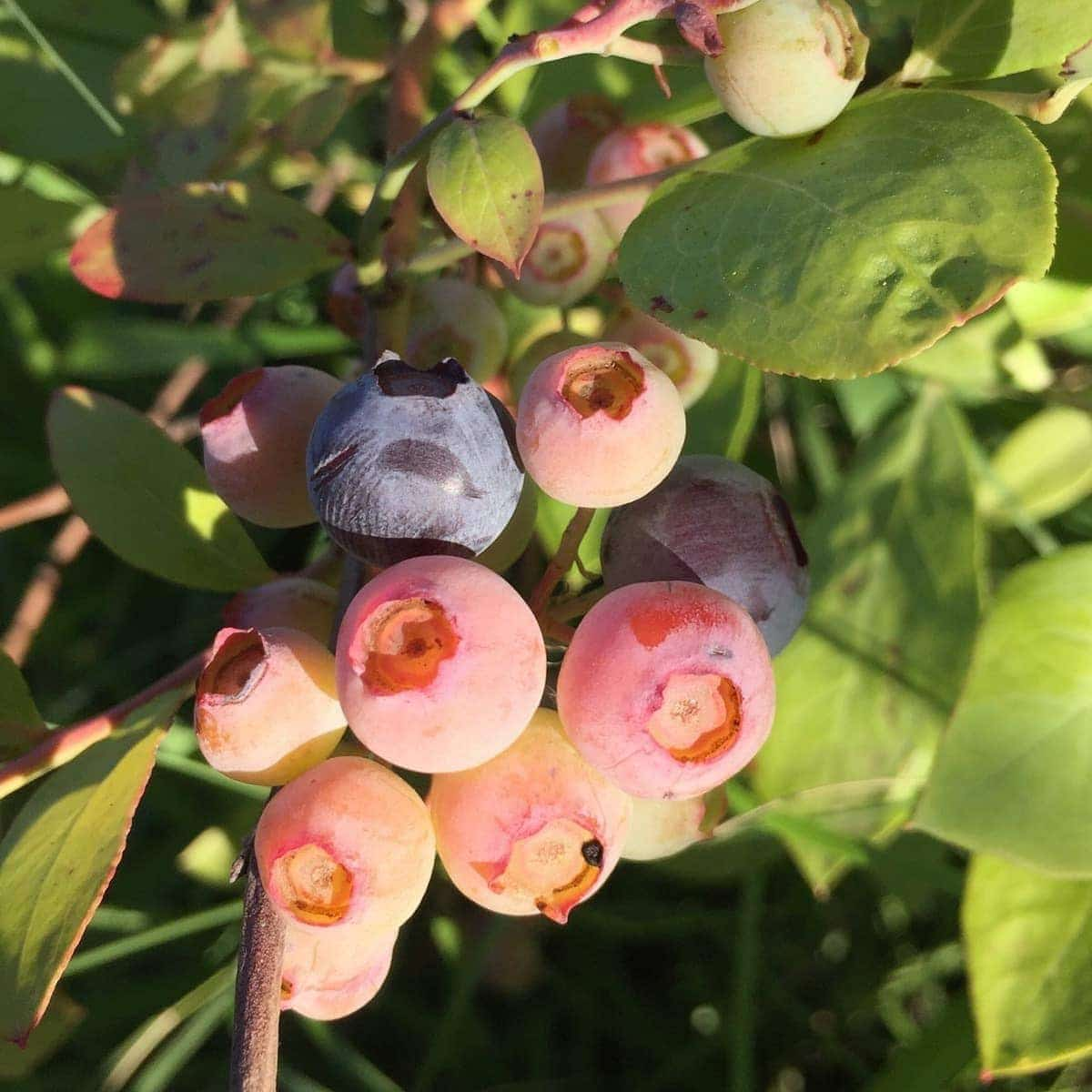 Blueberries Ripening on Bush
