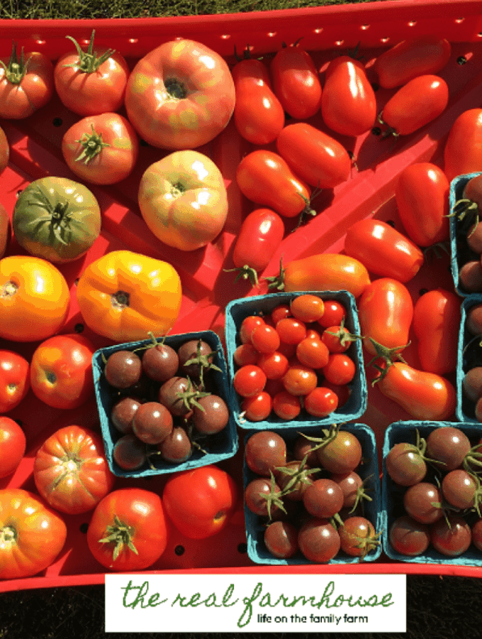 colorful tomatoes 2