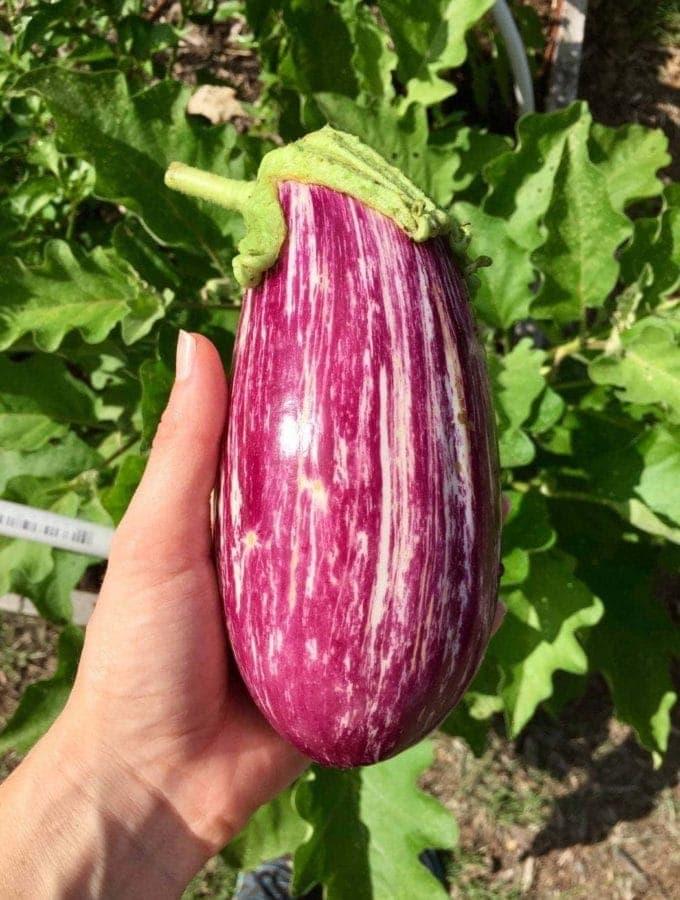 eggplant_harvest