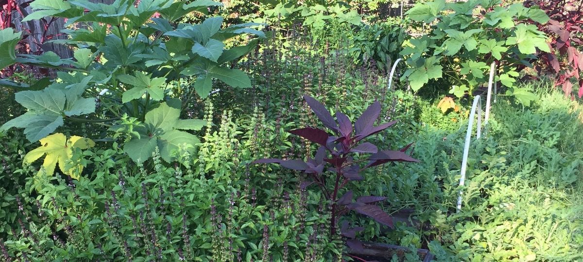 Basil, Okra and Amaranth in the Garden