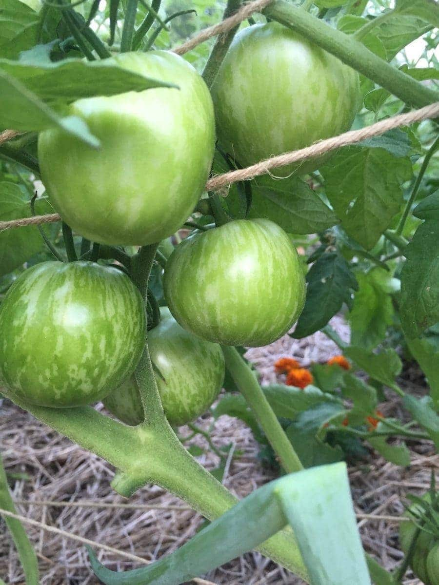 Green Zebra Tomatoes on Vine