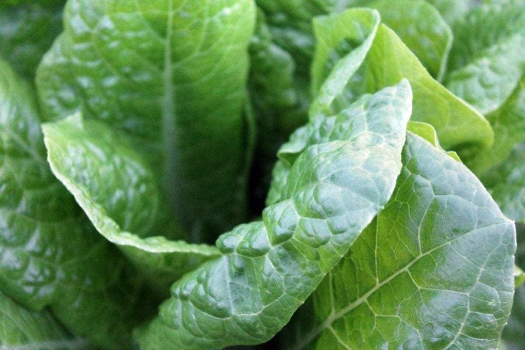 up close picture of lettuce
