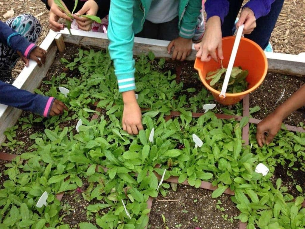 Four Kids Reaching Hands Into Garden Bed to Harvest Greens