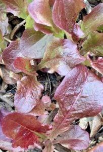 outredgeous romaine lettuce
