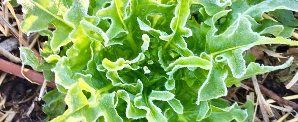 Oakleaf Lettuce with Frost