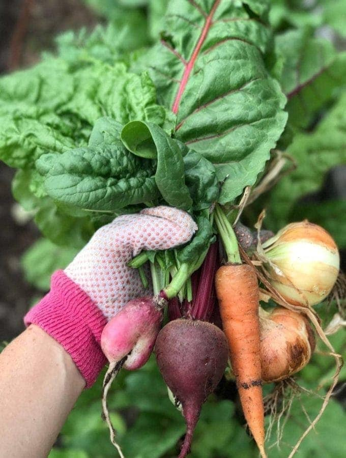 Harvest of Radish, Carrot, Beet, Onions and Swiss Chard