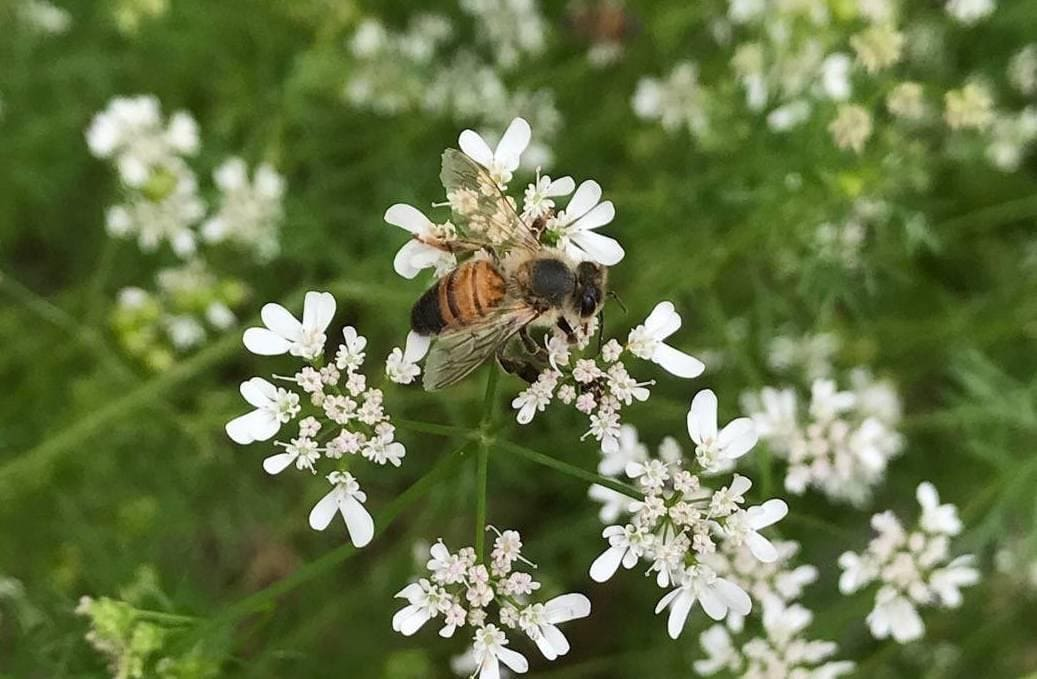 Bee on Cilantro Flowers