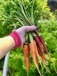 orange and purple carrot harvest