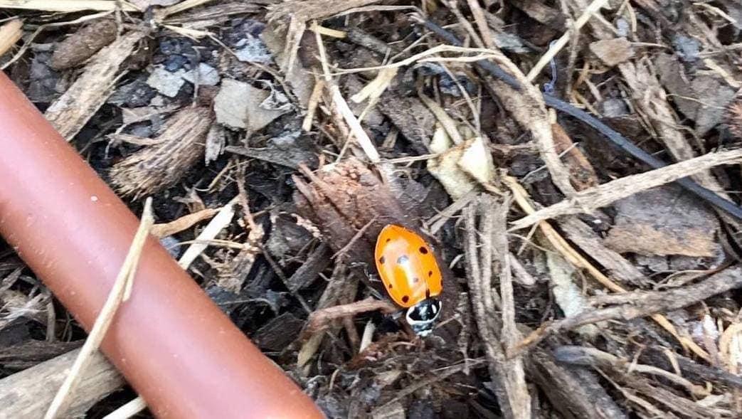 Ladybug in Mulch