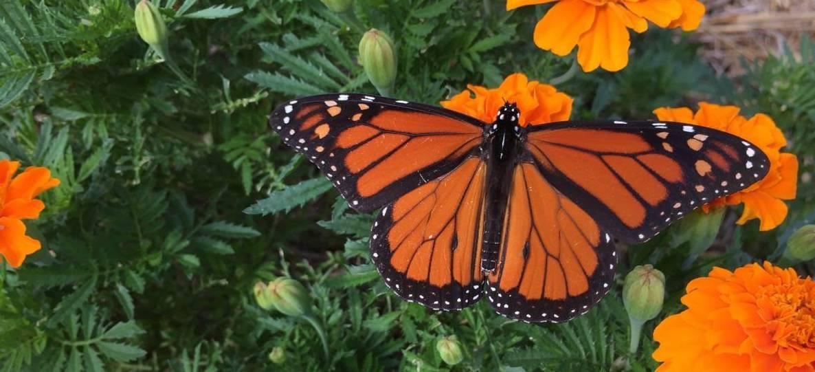Monarch Butterfly on Marigold