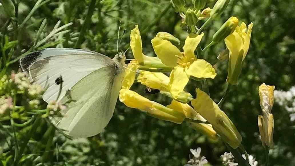 cabbage moth_pollinator.JPG