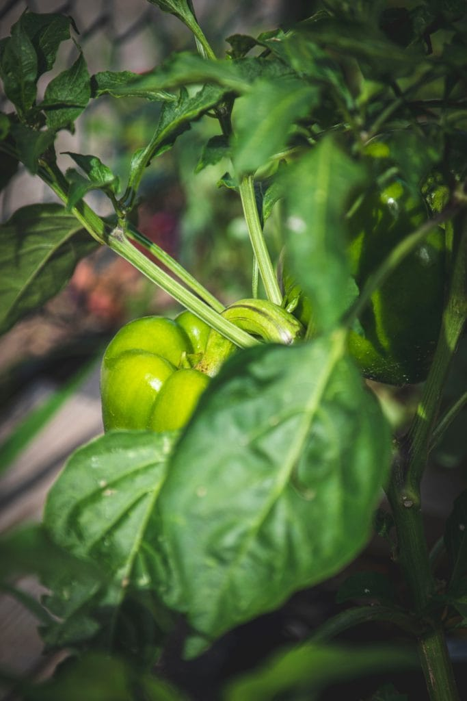 bell pepper plant showing leaves, stem and bell pepper